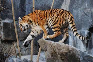 Stock - Siberian Tiger by NFB-Stock