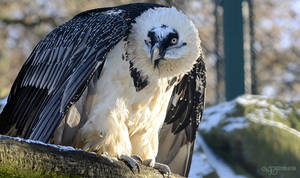 Zoo - Bearded vulture
