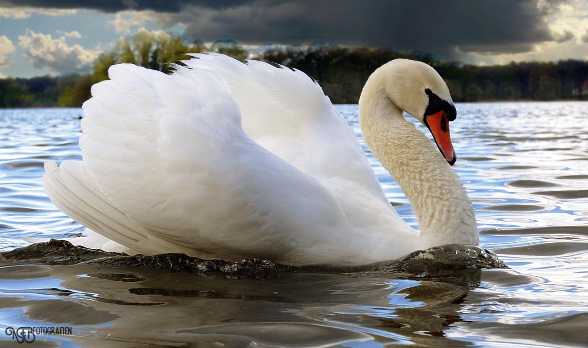 Birds - Mute swan II by NFB-Fotografien