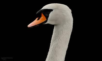 (Birds) Mute Swan III by NFB-Stock