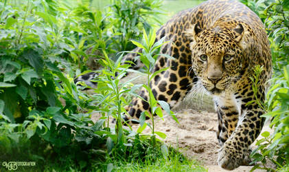 Zoo - Javan leopard by NFB-Stock