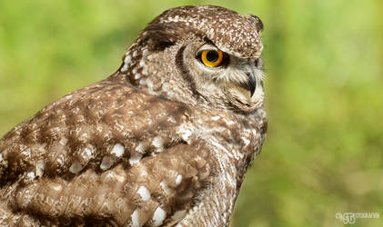 Zoo - Spotted eagle-owl
