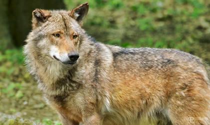 Zoo - Iberian wolf by NFB-Stock