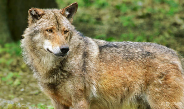 Zoo - Iberian wolf
