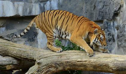 Stock - Siberian Tiger