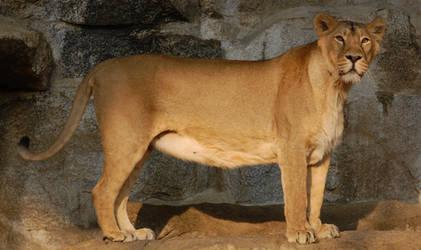 Stock -  Lioness