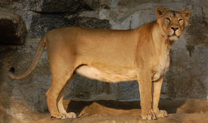 Stock -  Lioness