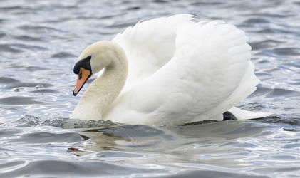 Stock - Mute Swan