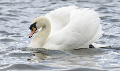 Stock - Mute Swan by NFB-Stock
