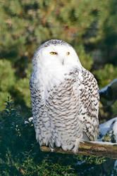 Stock - Snowy owl by NFB-Stock