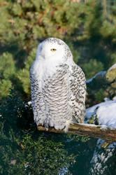 Stock - Snowy owl II by NFB-Stock