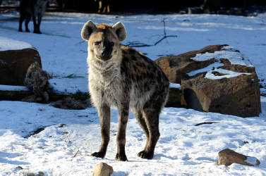 Stock - Spotted hyena III by NFB-Stock