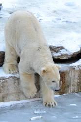 Stock - Polar bear III by NFB-Stock