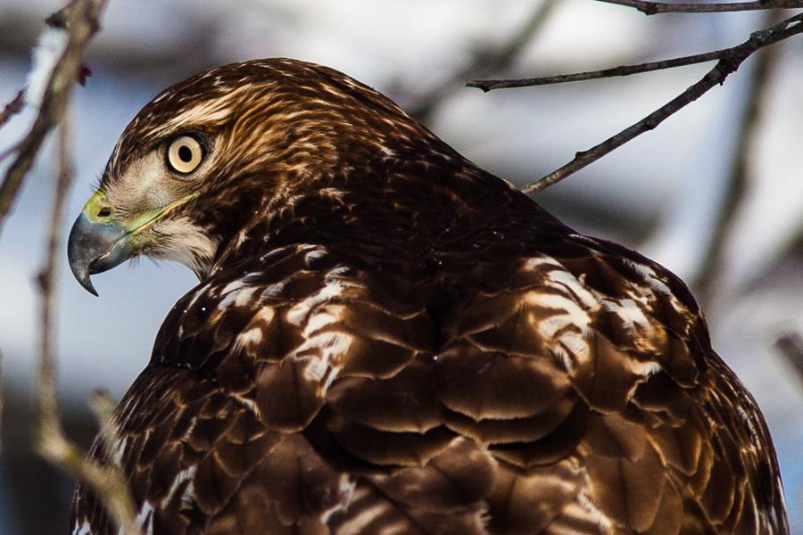 Hawk 02 by StudioFovea