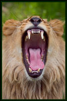 Lion yawning 03 by StudioFovea
