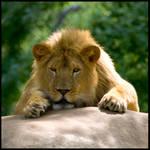 Lion, cute kitty 02