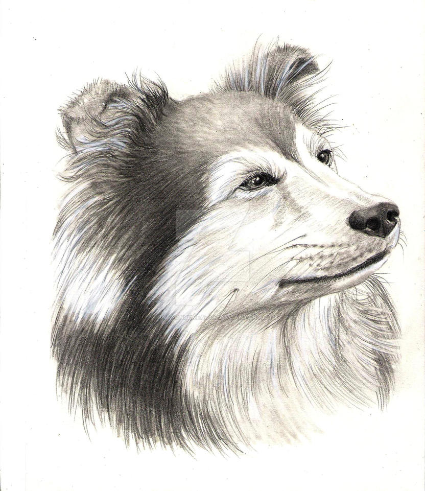 collie by winstonscreator