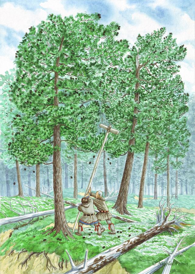Fat Kol'ket. Shaking down the cedar cones. by Nikkolainen