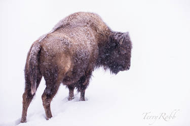 Bison 03 by Lenore49