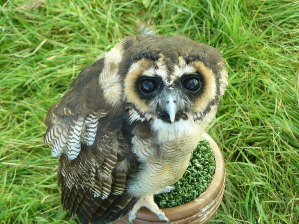 Baby Eurasian Wood Owl by OsmocisingMonkey