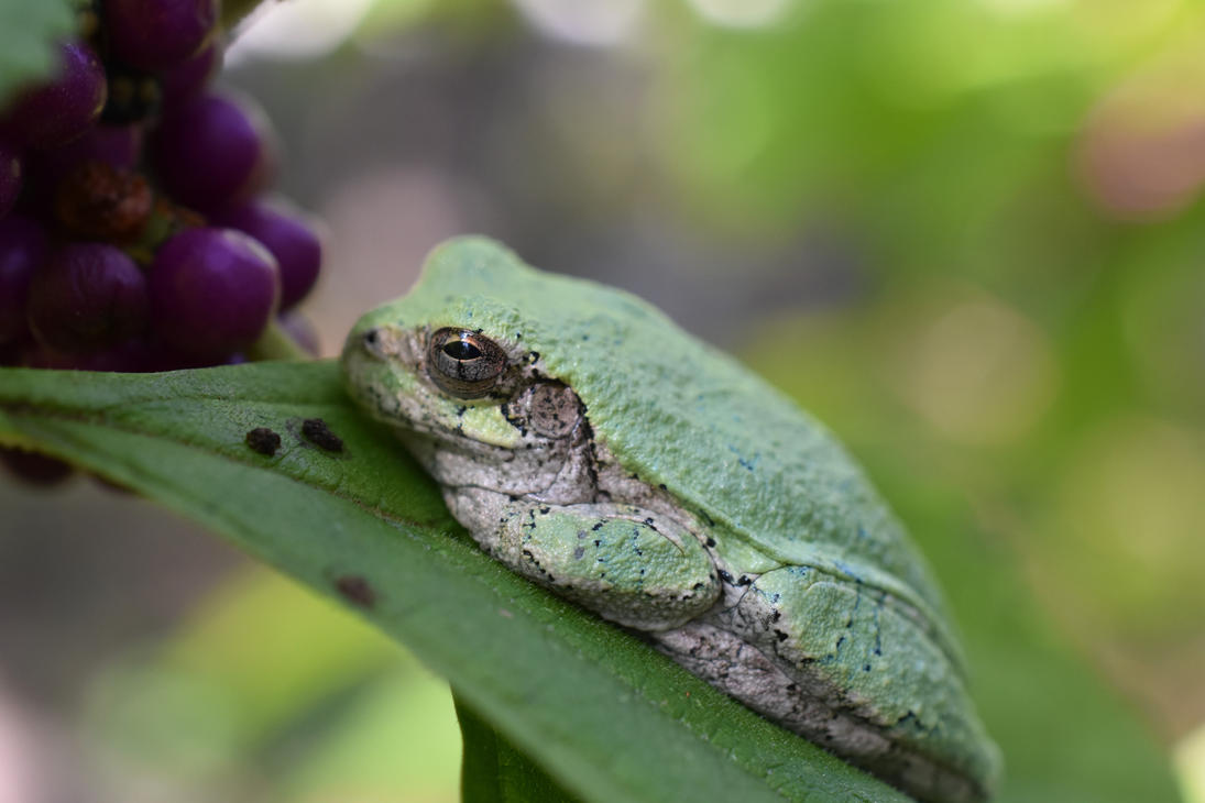 Tree Frog by sisikey