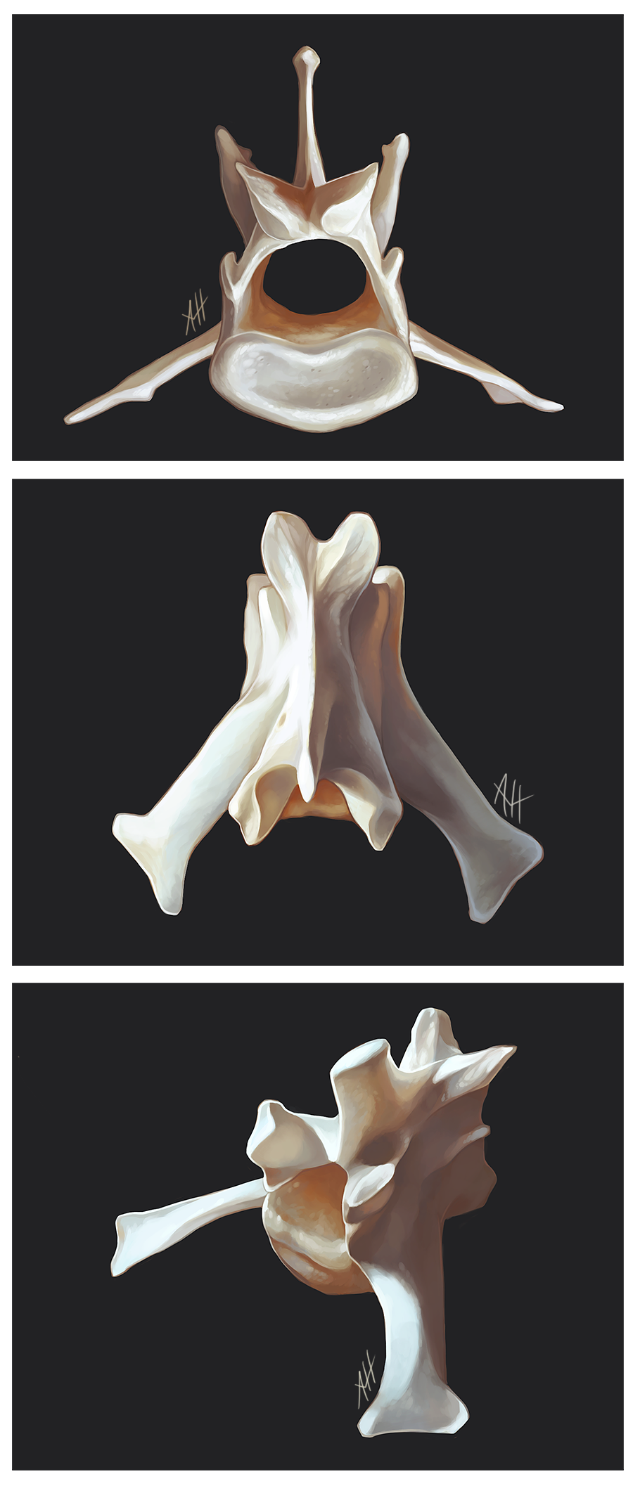 Fox Vertebrae