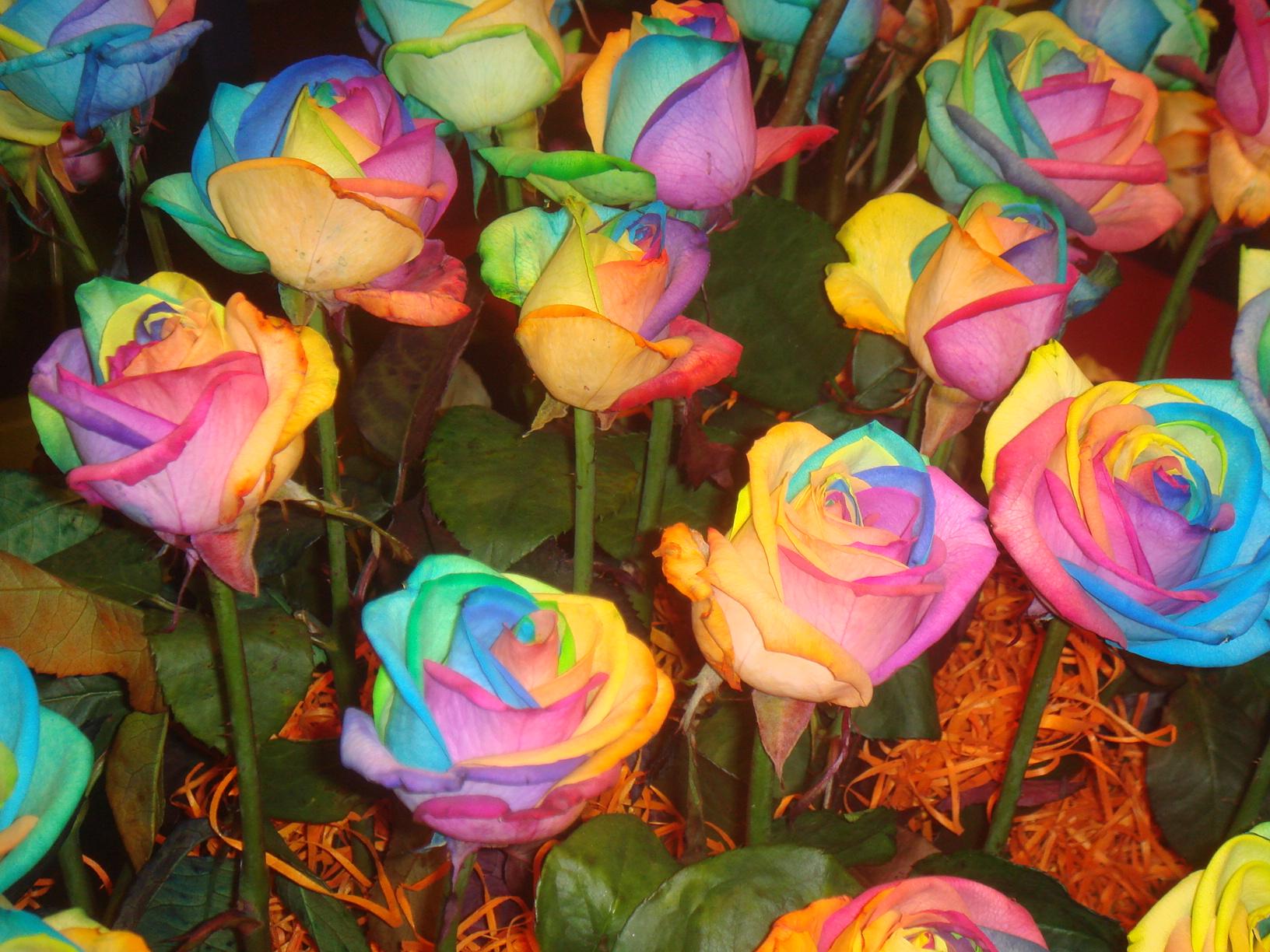 Beautyful flowers rainbow flower wallpaper for Rainbow rose wallpaper