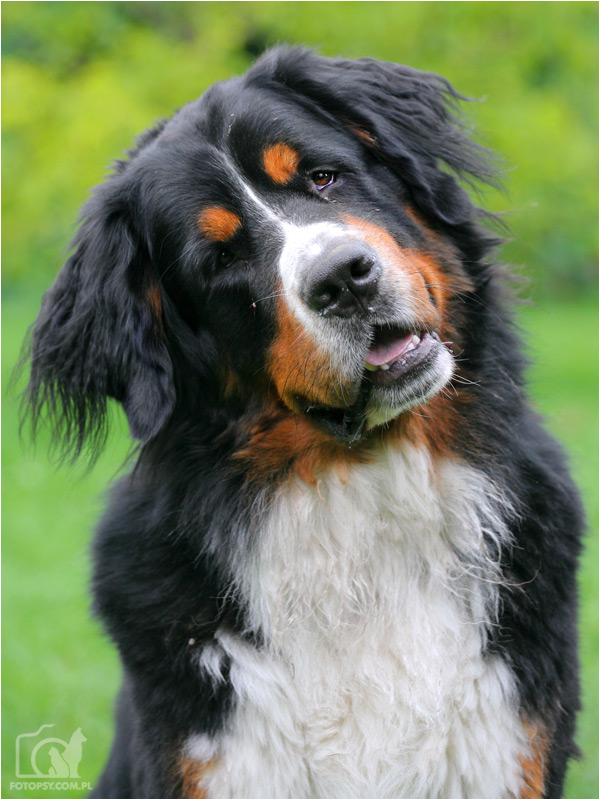 1000 images about bernese mountain dog on pinterest bernese mountain dogs bernese mountain. Black Bedroom Furniture Sets. Home Design Ideas