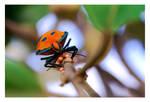 Scutelleridae Guarding