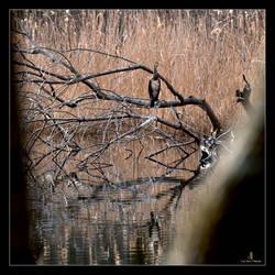 Cormorano solitario1