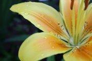 flower by KazeandGeira