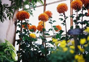 Chrysanthemums in Shadow