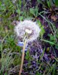 dandilion seeds