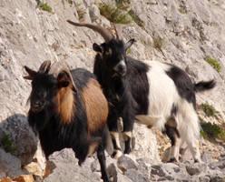 Goats 1 by III-HATHOR-III