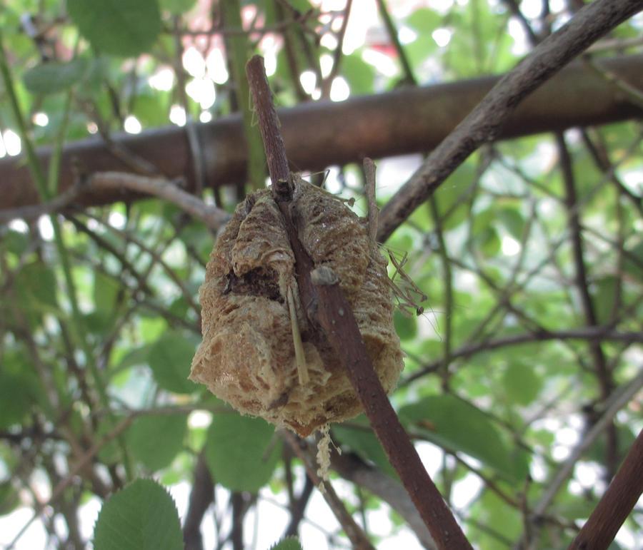 Praying Mantis Egg Case Hatch By Abbeydeath On Deviantart