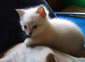 white kitten 2 by BreatheOnMe
