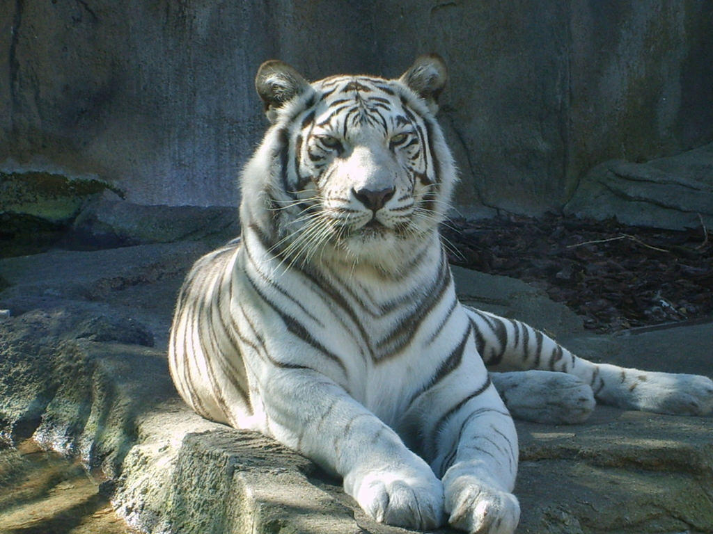 White Bengal Tiger by BreatheOnMe