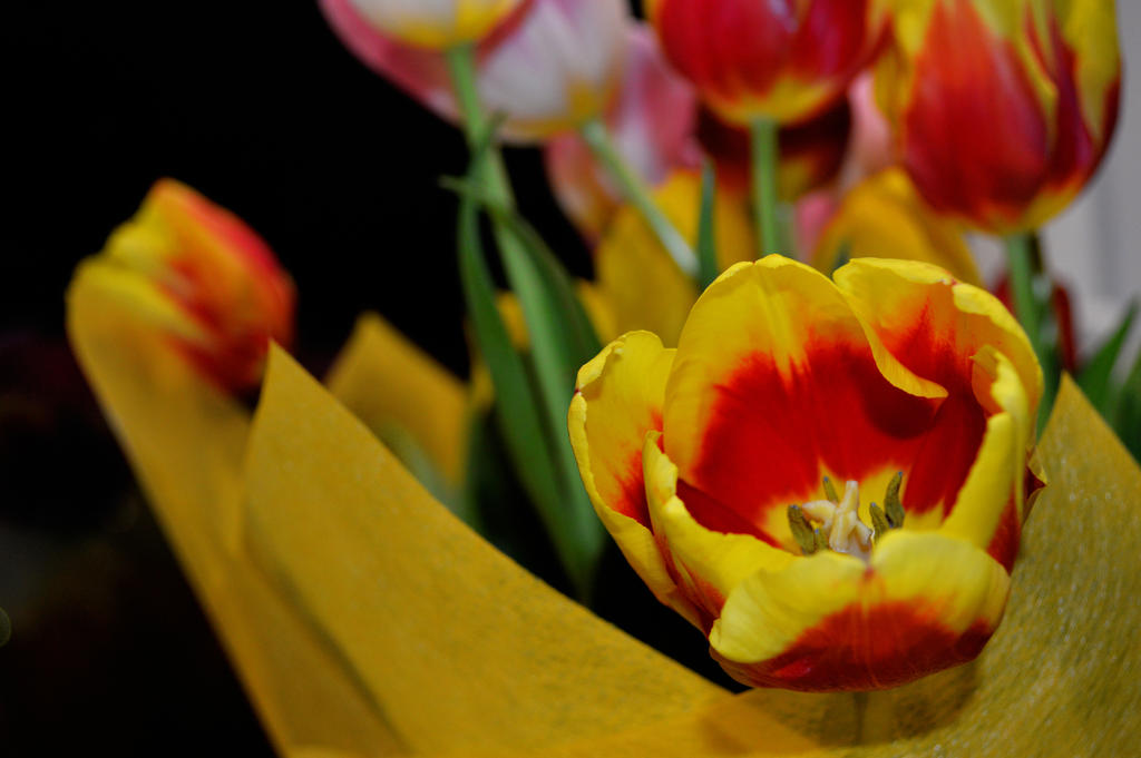 tulips2 by karina-atom