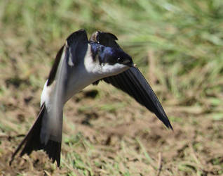 House Martin landing by Brassed-Off