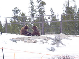 Currans Playing Bears