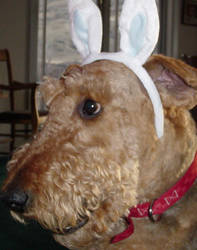 Easter Airedale