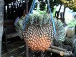 Twins Philippine Pineapple by jrdl30