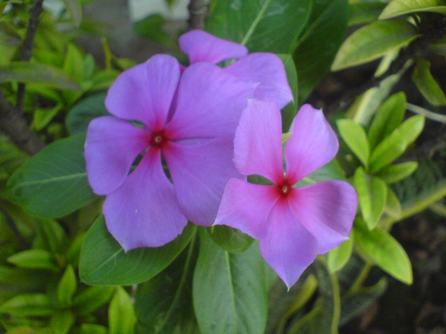Gambar Bunga Pukul Empat Gambar Bunga