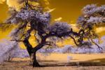 Acacia Infrared by robpolder