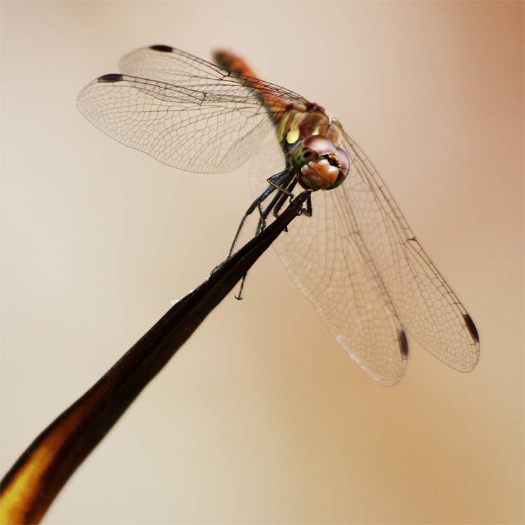 Dragonfly by Mondbeobachter