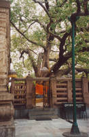 the Bodhi Tree - Bodh Gaya by shanti1971