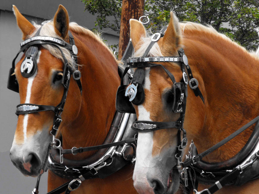 Classy Clydesdales by Photos-By-Michelle
