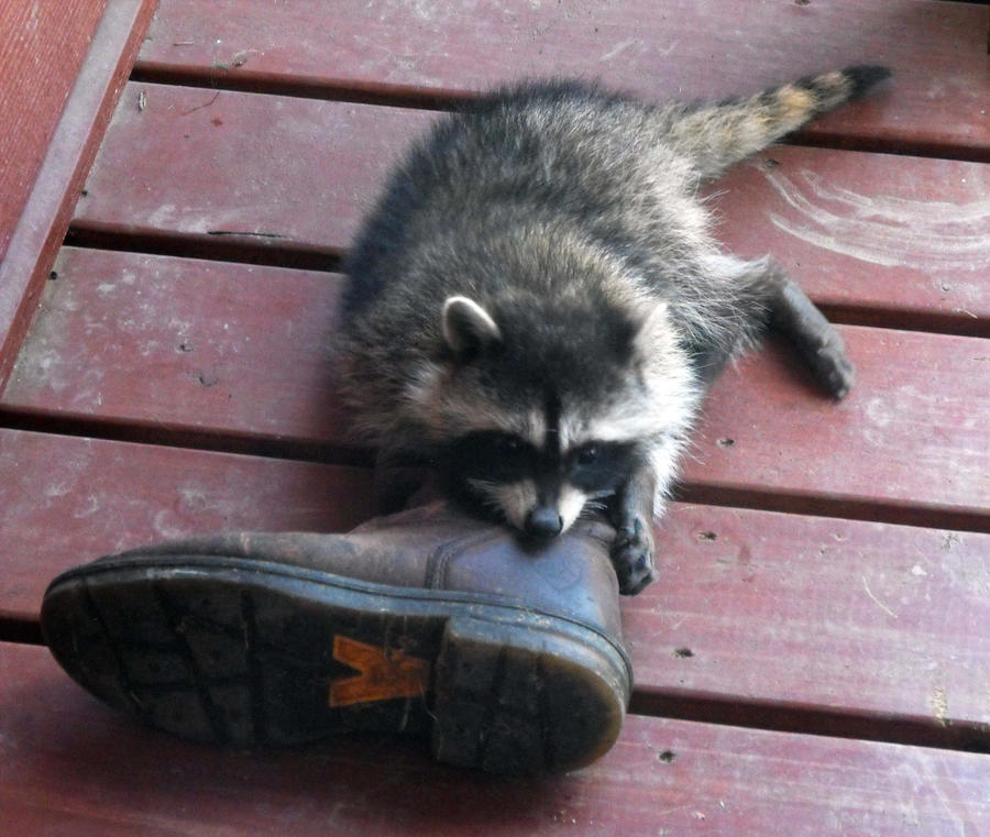 Racoon vs. The Boot by Photos-By-Michelle