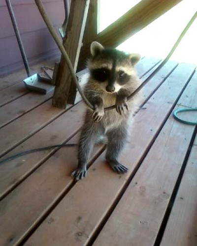 Racoon in Mischief by Photos-By-Michelle