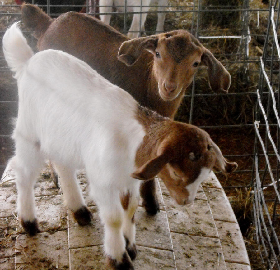 Baby Billygoats by Photos-By-Michelle